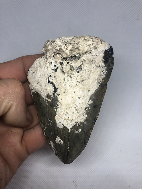 """4.09"""" Uncleaned Fossil Megalodon Shark Tooth"""