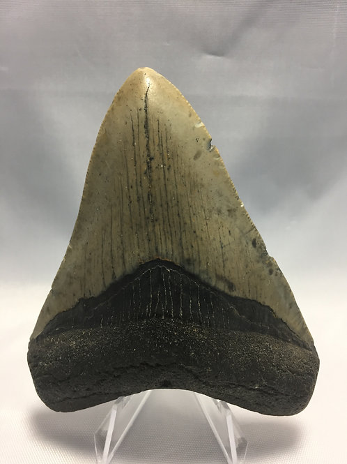 "3.98"" Fossil Megalodon Shark Tooth"