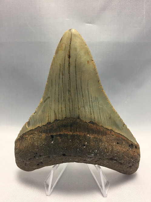 """4.16"""" Fossil Megalodon Shark Tooth"""