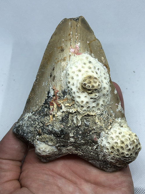 """4.90"""" Uncleaned Fossil Megalodon Shark Tooth"""