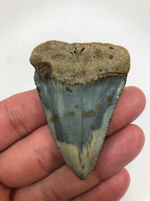 """2.66"""" Giant Fossil Great White Shark Tooth"""