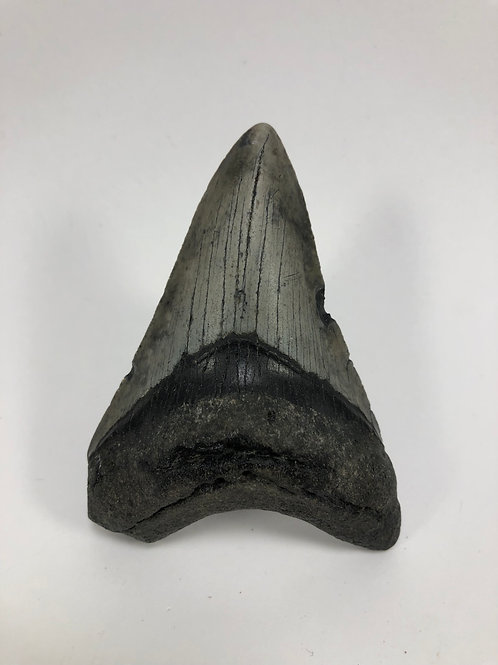 3.66 Fossil Megalodon Shark Tooth