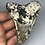 """Thumbnail: 4.28"""" Uncleaned Fossil Megalodon Shark Tooth"""