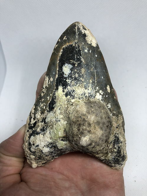 """5.00"""" Uncleaned Fossil Megalodon Shark Tooth"""