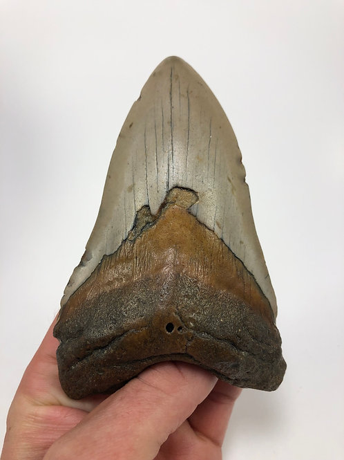"5.08"" Orange Fossil Megalodon Shark Tooth"