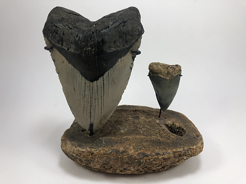 "5.79"" XXL-1Lb Fossil Megalodon Great White Shark Tooth Combo  ** On Wh"