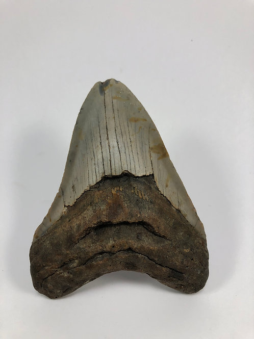 """4.34"""" Fossil Megalodon Shark Tooth"""
