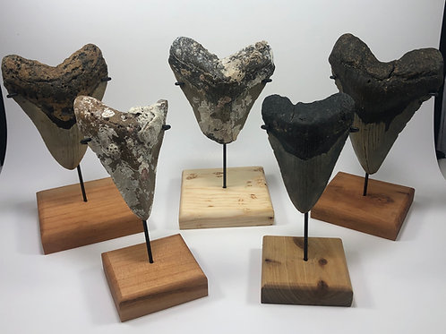 Custom Wood Base Megalodon Inverted Metal Shark Tooth Stand—Great Display For An