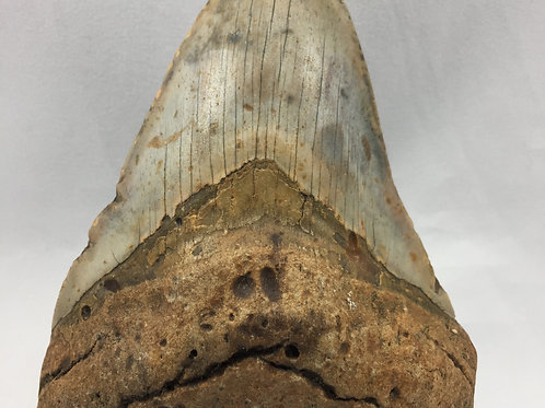 "5.42"" Colorful Fossil Megalodon Shark Tooth"