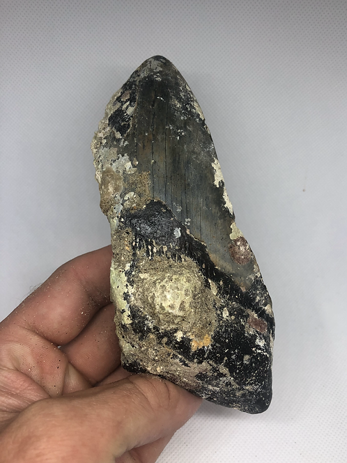 """5.72"""" Uncleaned Fossil Megalodon Shark Tooth"""