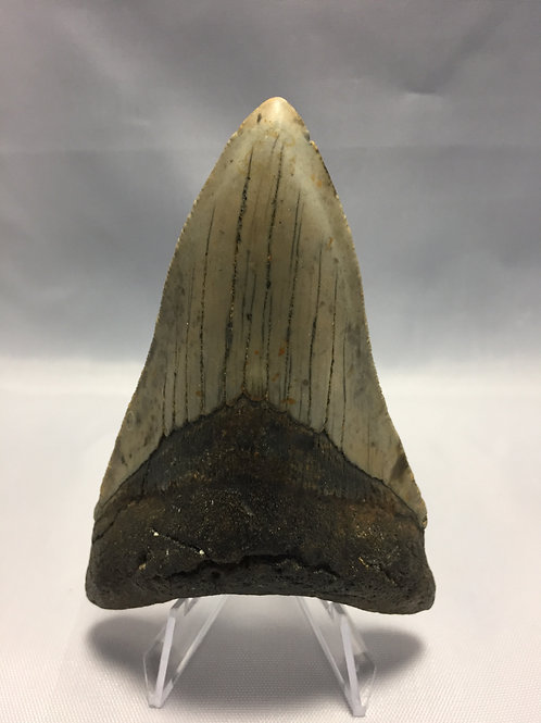 """3.93"""" Lower Fossil Megalodon Shark Tooth"""