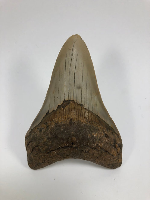 "4.09"" Fossil Megalodon Shark Tooth"