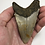 "Thumbnail: 4.22"" Lower Fossil Megalodon Shark Tooth"