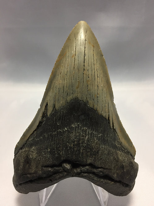 """4.09"""" Lower Fossil Megalodon Shark Tooth"""
