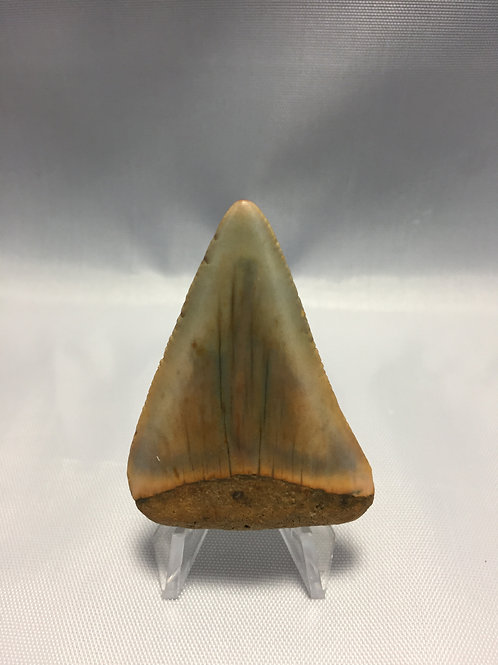 """2.1"""" Fossil Great White Shark Tooth"""