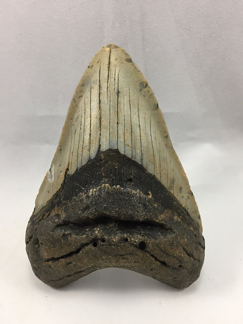 "4.41"" Fossil Megalodon Shark Tooth"