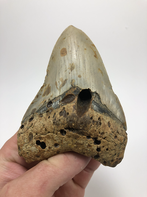 """4.46"""" Fossil Megalodon Shark Tooth"""