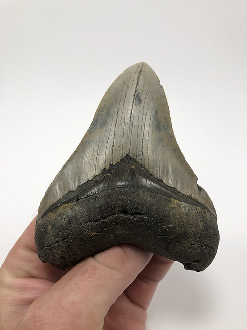 """4.21"""" Fossil Megalodon Shark Tooth"""