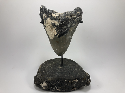 """5.33"""" Uncleaned Fossil Megalodon Shark Tooth  **Inverted on Whale Bone"""