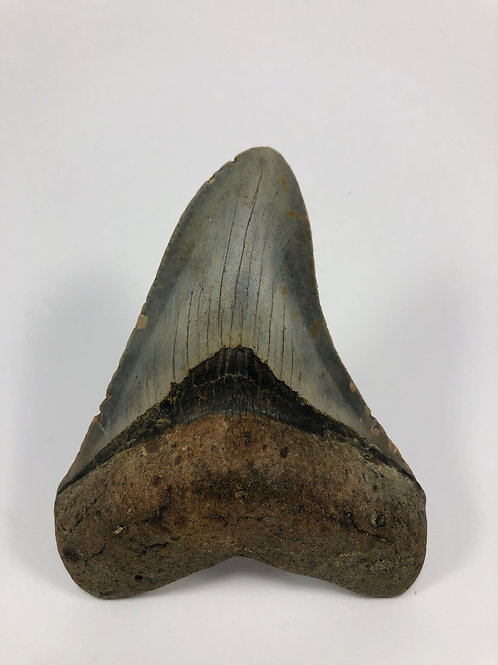 "4.39"" Fossil Megalodon Shark Tooth"