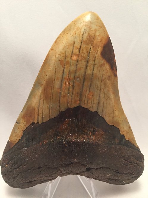 """5.47"""" Fossil Megalodon Shark Tooth"""