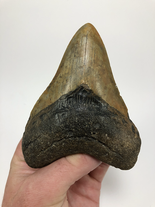 """4.52"""" Calico Fossil Megalodon Shark Tooth"""