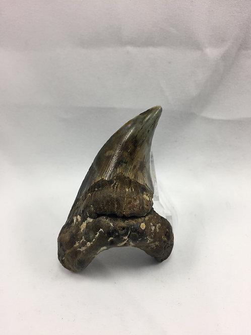 "2.56"" Fossil Benedini Shark Tooth"