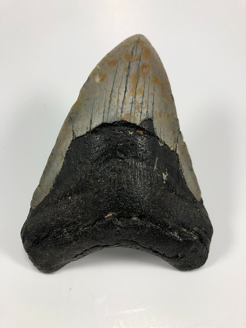 """4.51"""" Fossil Megalodon Shark Tooth"""