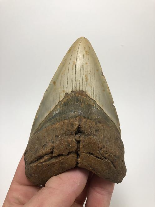 "5.05"" Fossil Sharp Lower Megalodon Shark Tooth"
