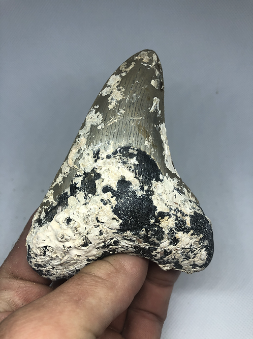 """4.28"""" Uncleaned Fossil Megalodon Shark Tooth"""