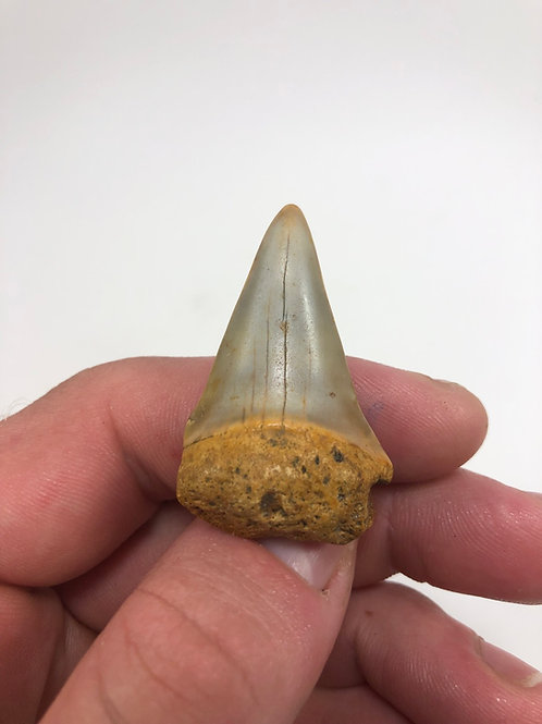 """1.75"""" Colorful Fossil Mako Shark Tooth"""