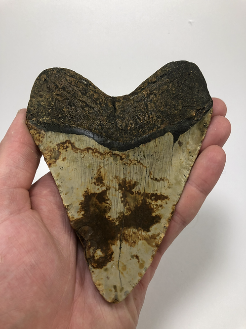 """5.69"""" Speckled Fossil Megalodon Shark Tooth"""