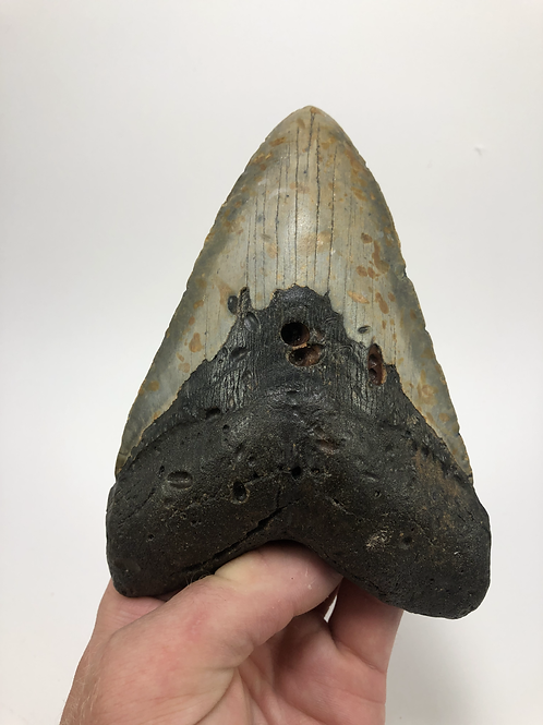 """5.88"""" Giant Fossil Megalodon Shark Tooth"""