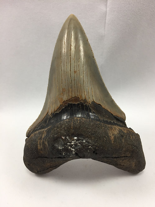 "4.04"" Museum Quality Fossil Megalodon Shark Tooth"
