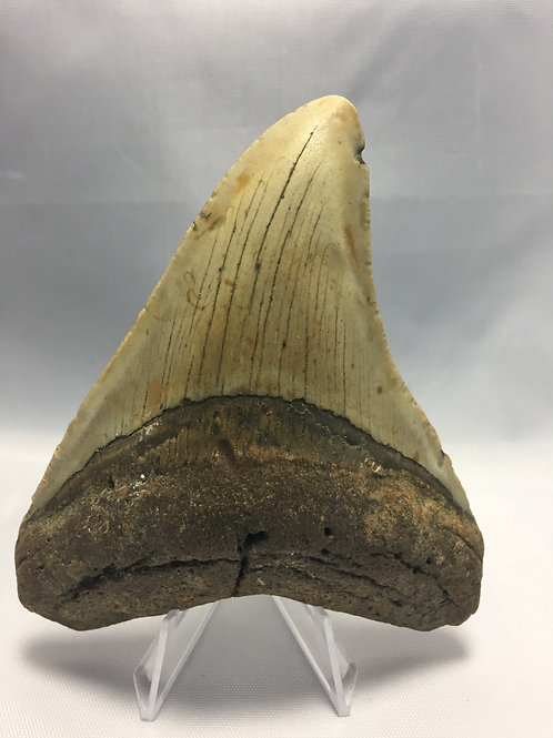 """4.5"""" Curved Fossil Megalodon Shark Tooth"""