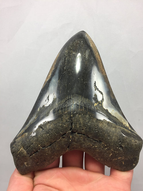 "5.91"" Diamond Polished Fossil Megalodon Tooth"