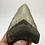 "Thumbnail: 4.32"" Symmetrical Fossil Megalodon Shark Tooth"