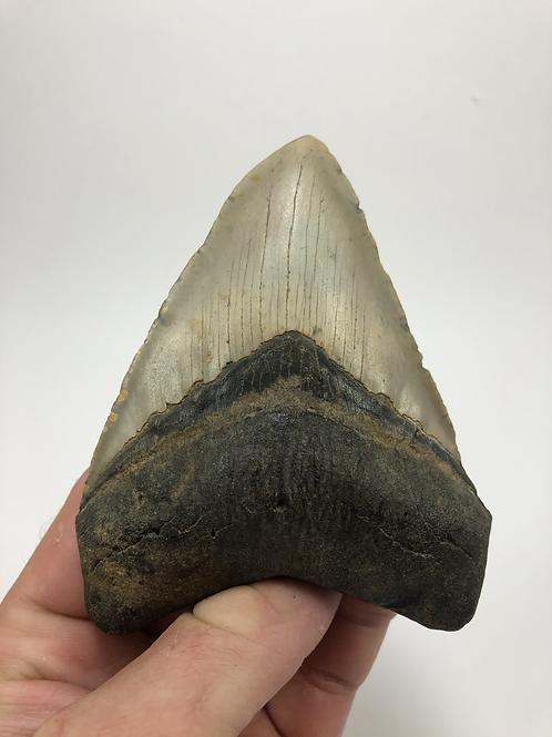"4.32"" Symmetrical Fossil Megalodon Shark Tooth"