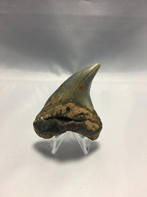 "2.79"" Fossil Benedini Shark Tooth"