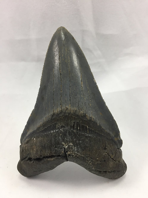"3.66"" Sharp Serrated Fossil Megalodon Shark Tooth"