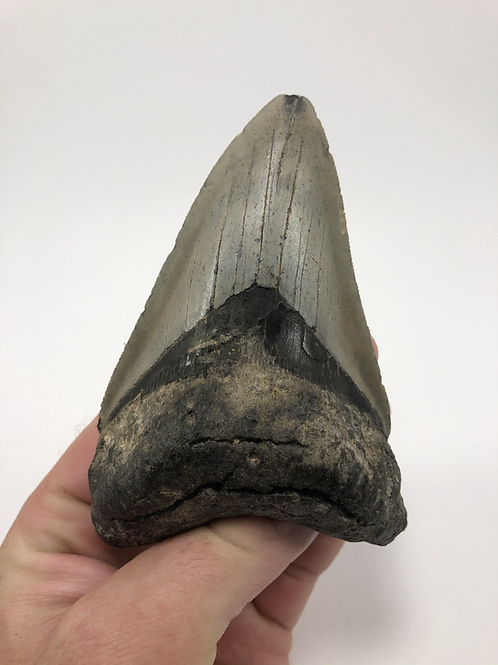 "4.61"" Fossil Megalodon Lower Shark Tooth"
