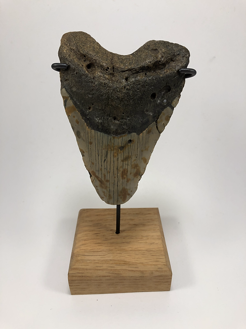 "4.79"" Giant Fossil Megalodon Shark Tooth Ocean Teeth- **On Inverted Me"