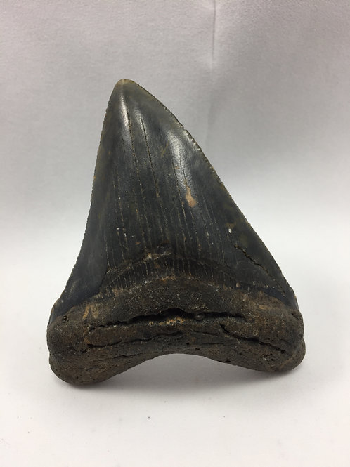 "3.31"" Serrated Megalodon Shark Tooth"
