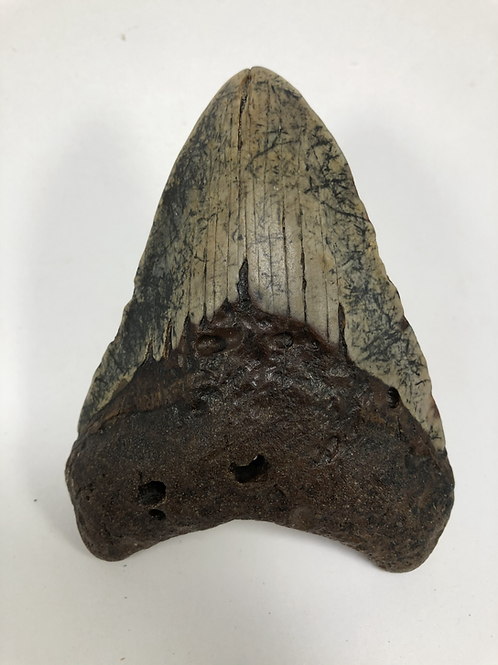 """4.37"""" Speckled Fossil Megalodon Shark Tooth"""