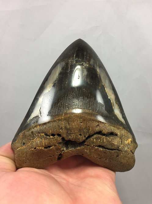 "5.25"" Diamond Polished Fossil Megalodon Tooth"