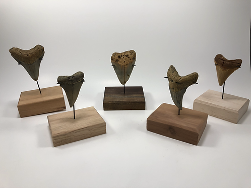 Custom Small Wood Base Megalodon Inverted Metal Shark Tooth Stand—Great Display