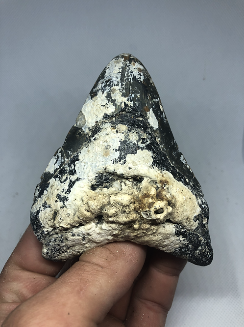 """4.08"""" Uncleaned Fossil Megalodon Shark Tooth"""