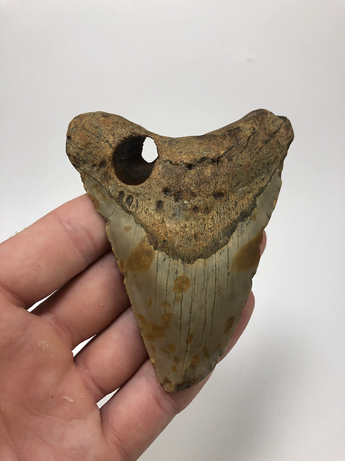 """4.11"""" Holy Fossil Megalodon Shark Tooth"""
