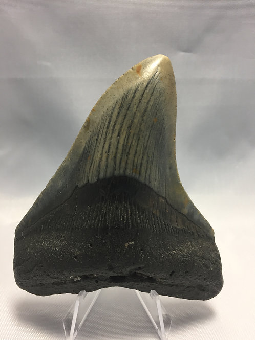 """4.18"""" Curved Fossil Megalodon Shark Tooth"""