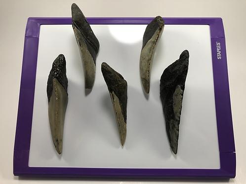 Fossil Megalodon Shark Tooth Split Refrigerator Magnet Ocean Teeth